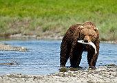 Alaskan Brown Bear with Sockeye Salmon