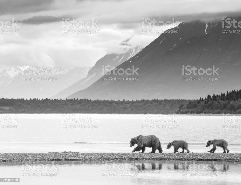 Alaskan Brown Bears stock photo