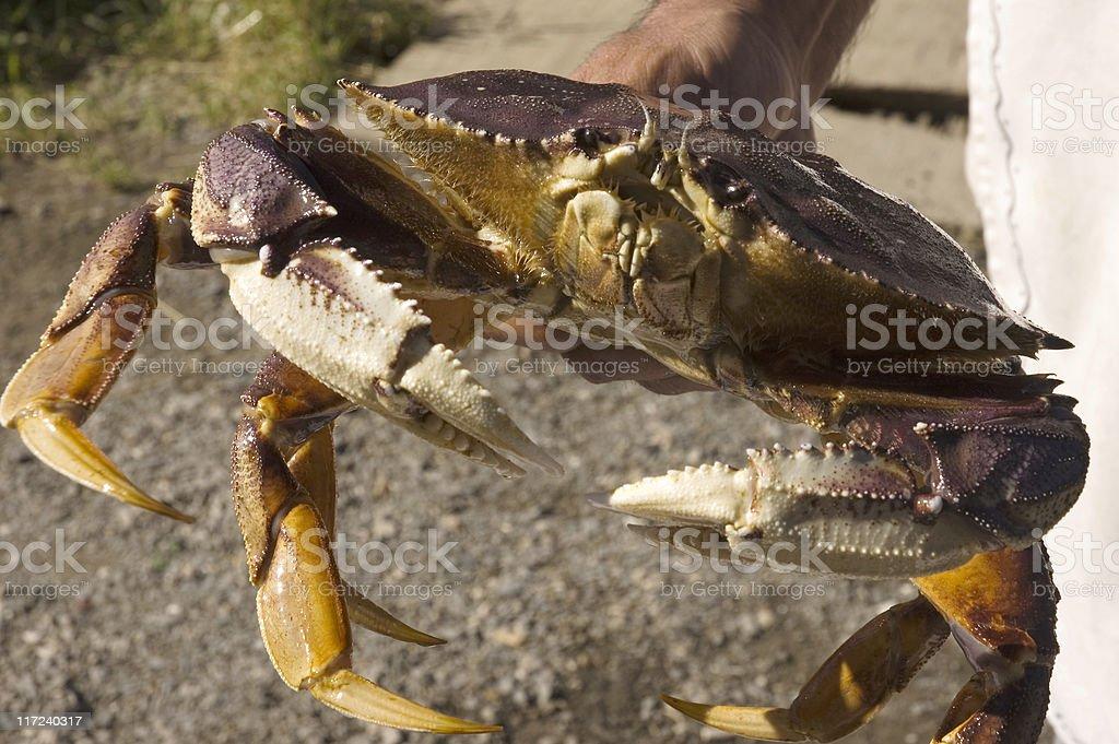 Alaskan   Crab stock photo