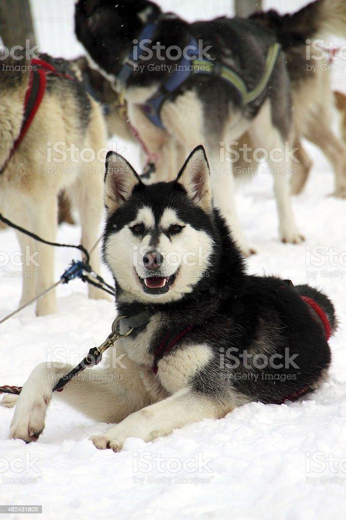Alaskan Husky im Rudel royalty-free stock photo