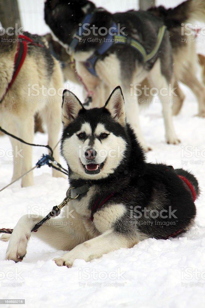 Alaskan Husky in the pack royalty-free stock photo