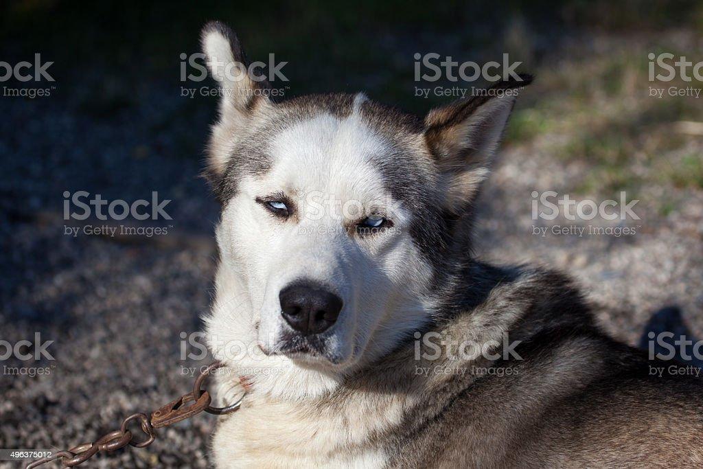 Alaskan Husky sled dog stock photo