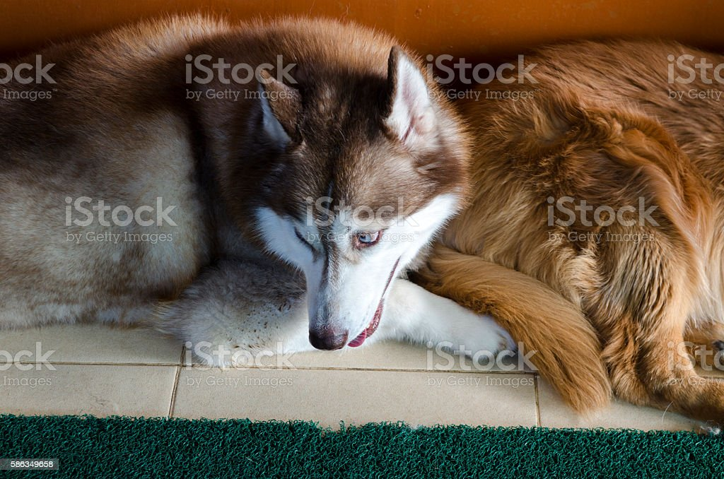 Alaskan malamute big dog stock photo