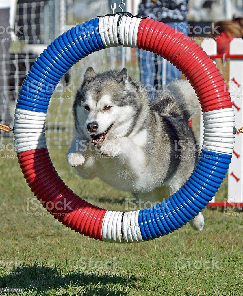 Alaskan Malamute Dog Jumping Through Agility Hoop stock photo