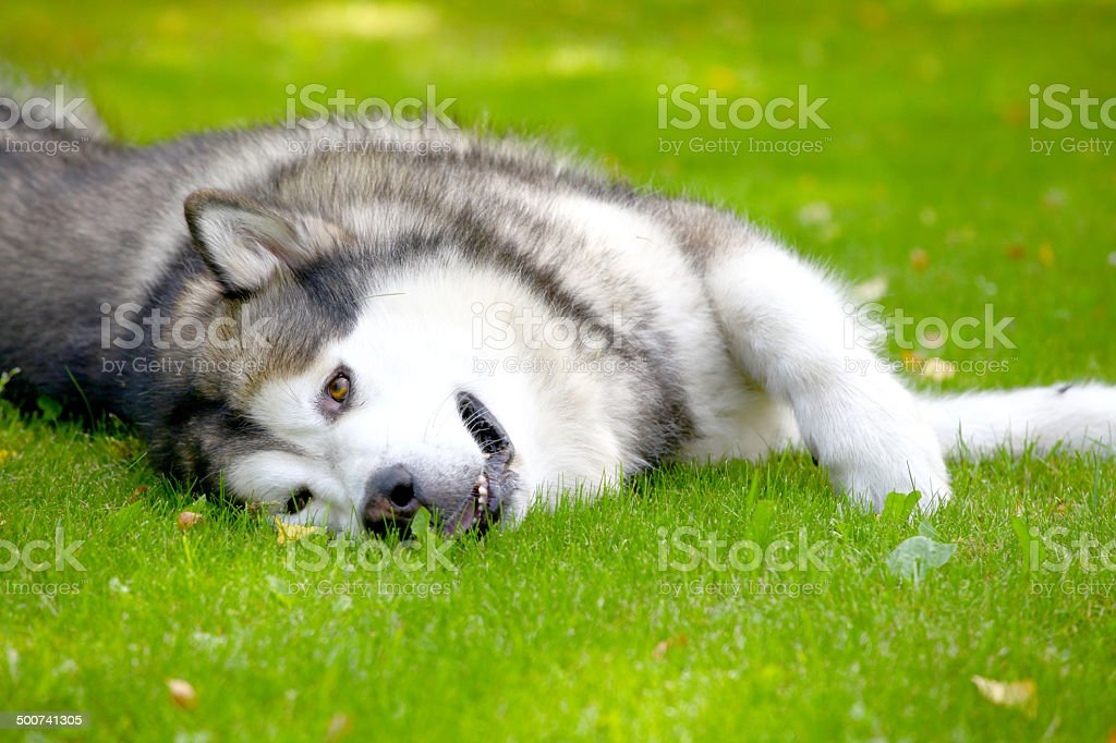 Alaskan Malamute on grass stock photo