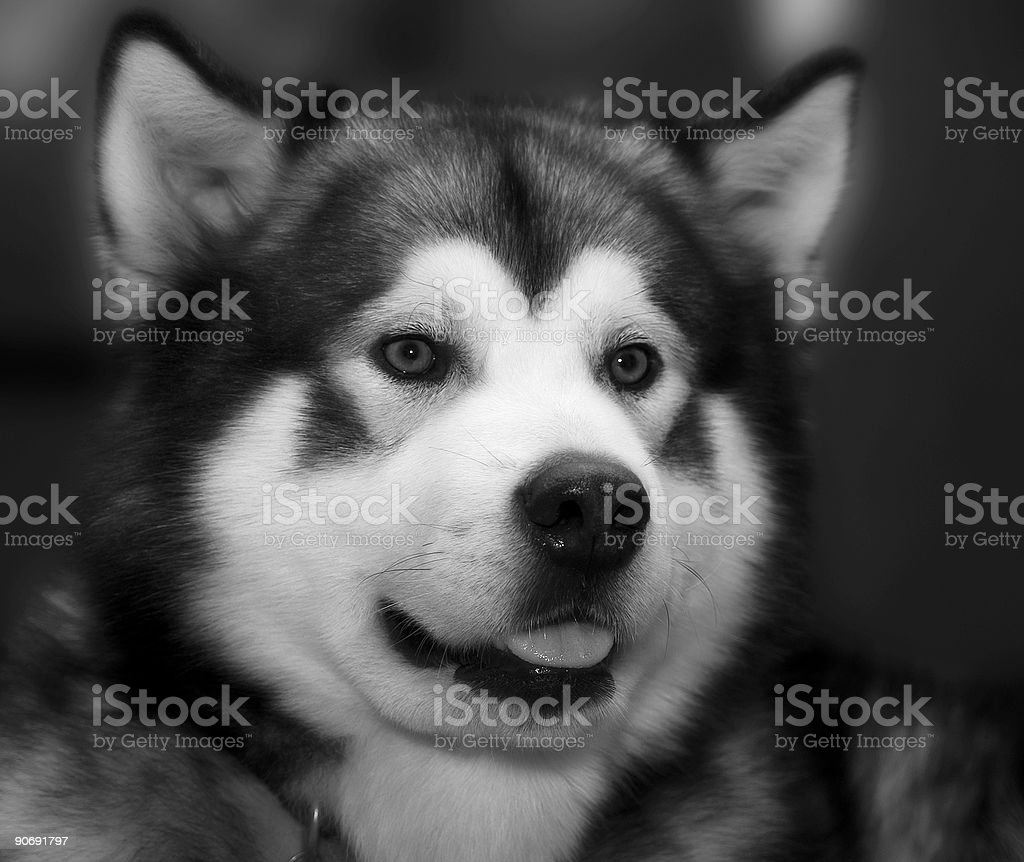 Alaskan Malamute royalty-free stock photo