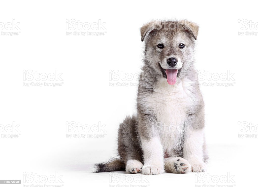 Alaskan malamute puppy against white royalty-free stock photo