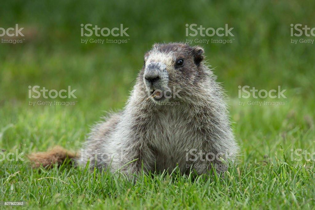 Alaskan Marmot stock photo