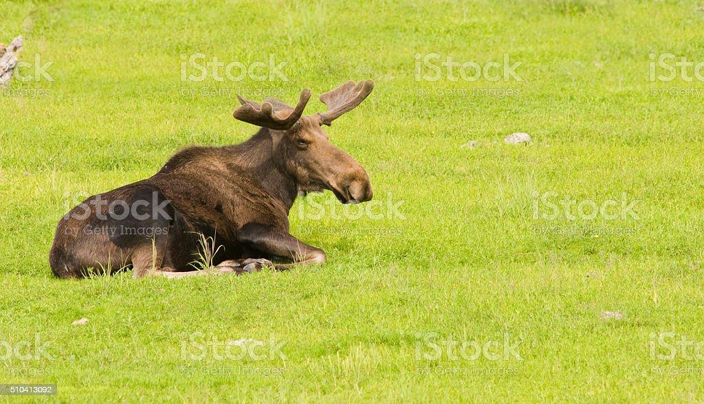 Alaskan Moose stock photo