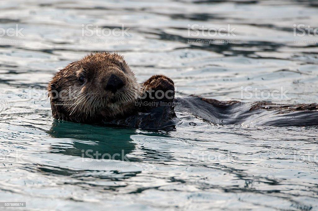 Alaskan Sea Otter stock photo
