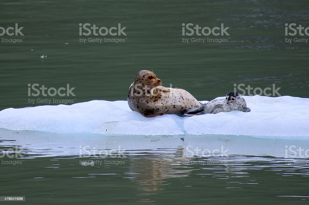 Alaskan seals stock photo