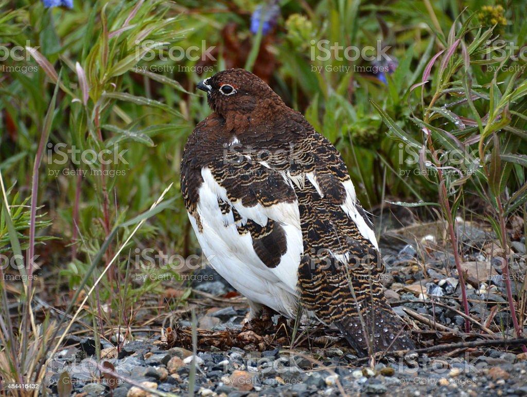 Alaska's National Bird -  Willow Ptarmigan stock photo