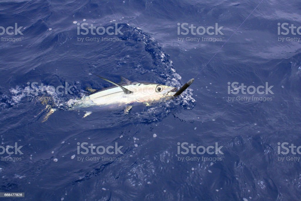 Albacore Tuna Caught on Cedar Plug Lure stock photo