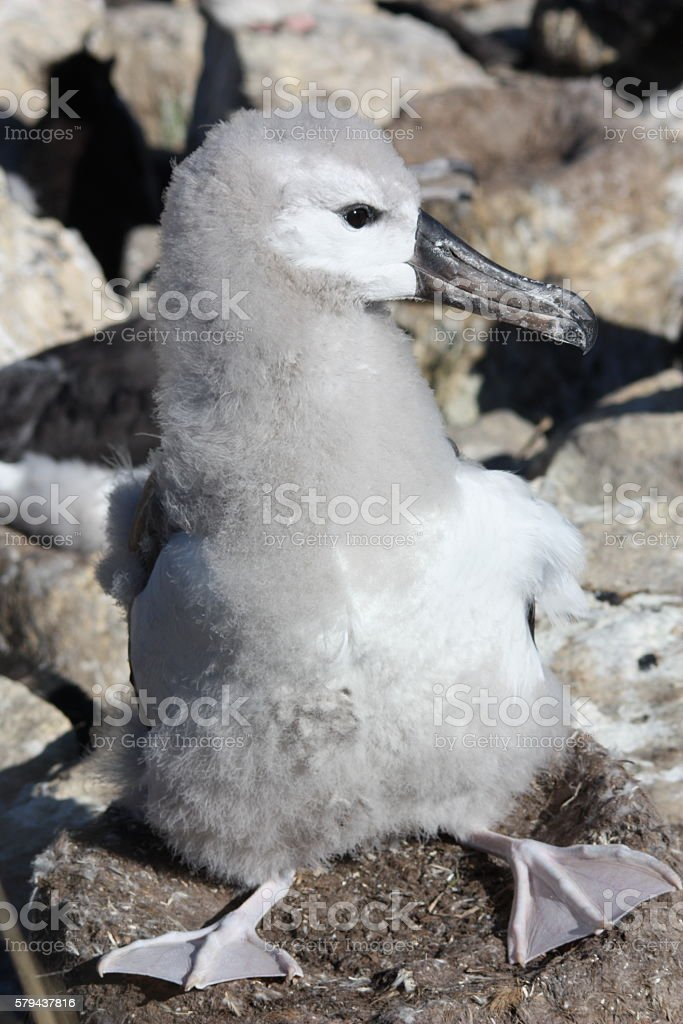 Albatros-Jungtier stock photo