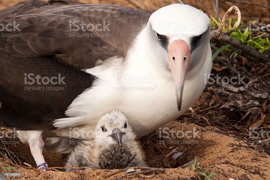 Albatross and Chick stock photo