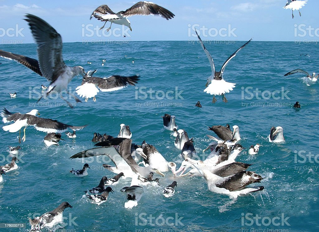 Albatross and other birds feeding at sea royalty-free stock photo