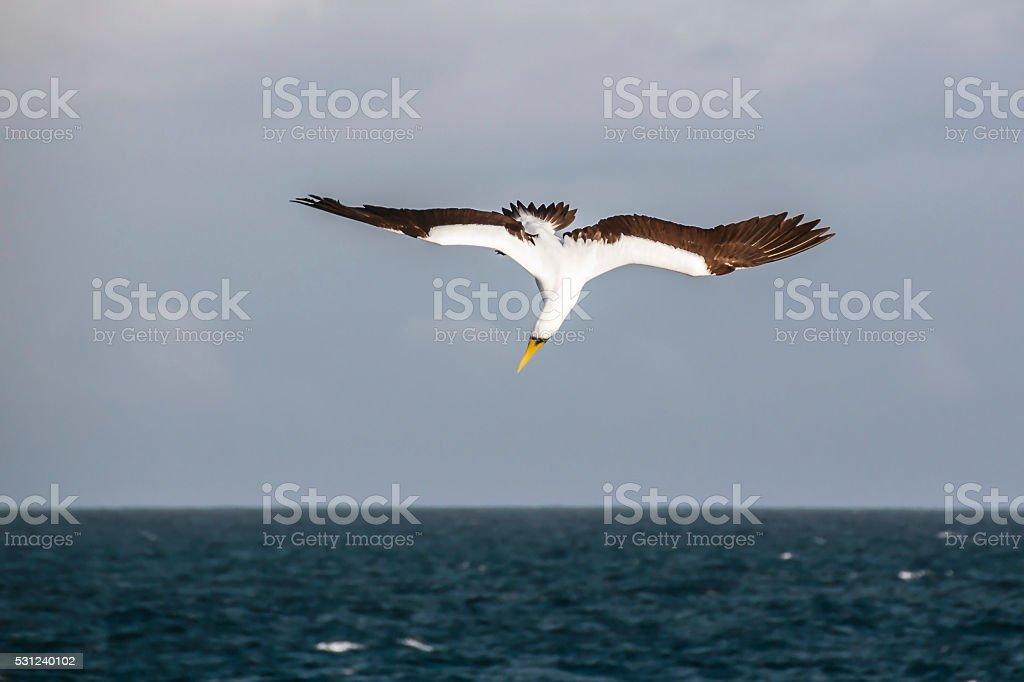 Albatross bird hunting stock photo