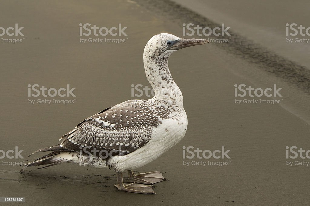 Albatross Bird stock photo
