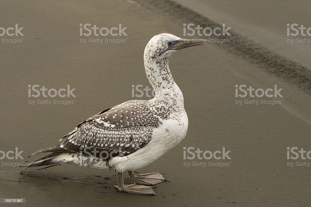 Albatross Bird stock photo