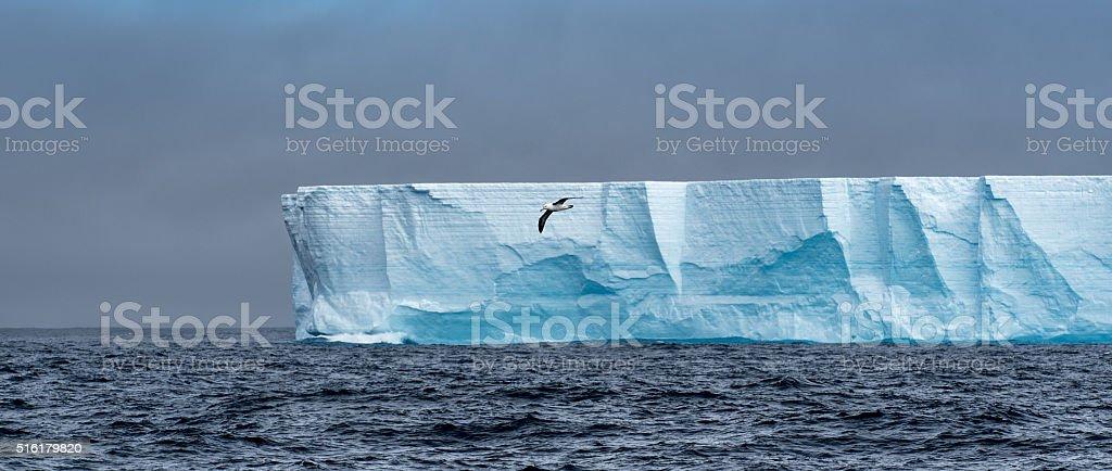 Albatross flying across a tabular iceberg in Antarctica stock photo
