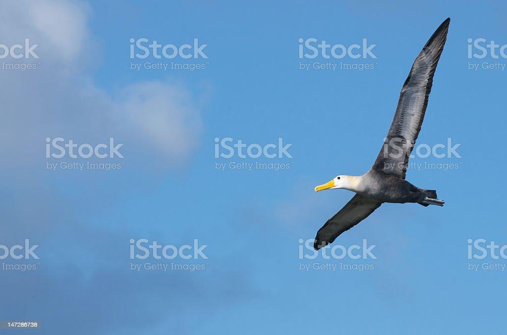 Albatross flying in the blue sky stock photo