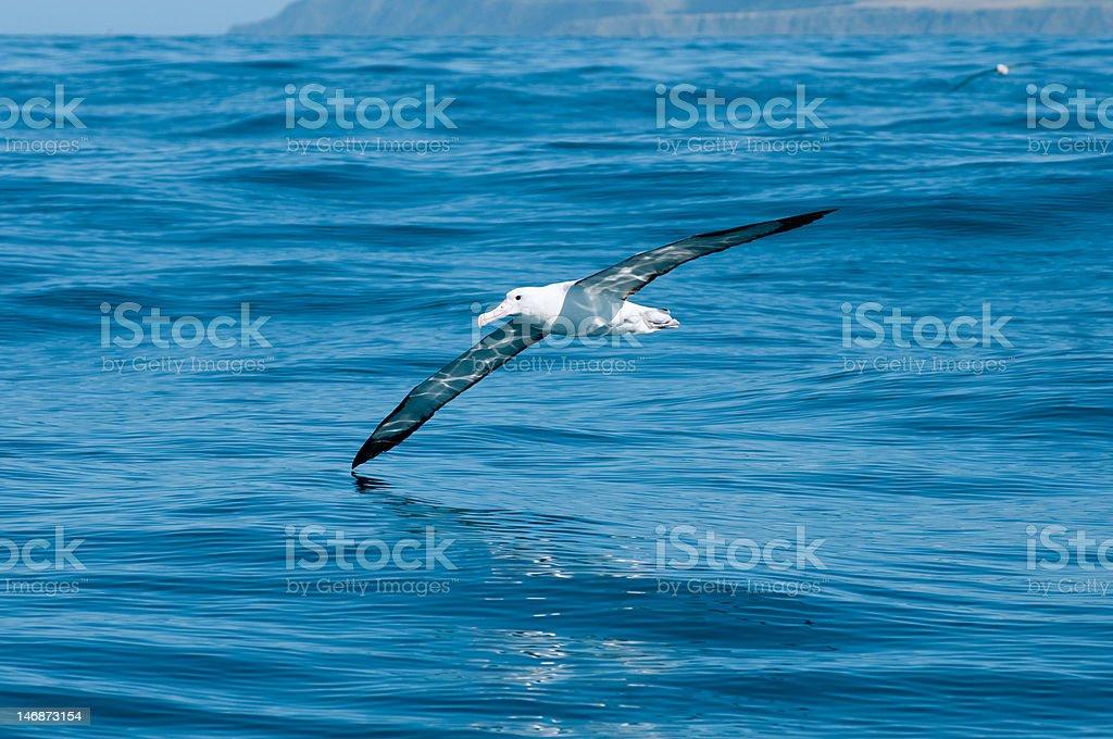 Albatross glides over open ocean stock photo