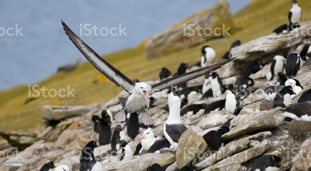 Albatross Interaction royalty-free stock photo