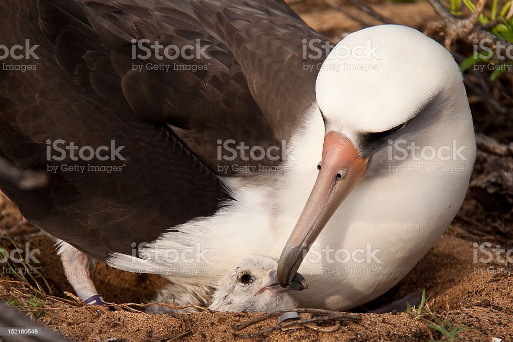 Albatross mother and chick stock photo