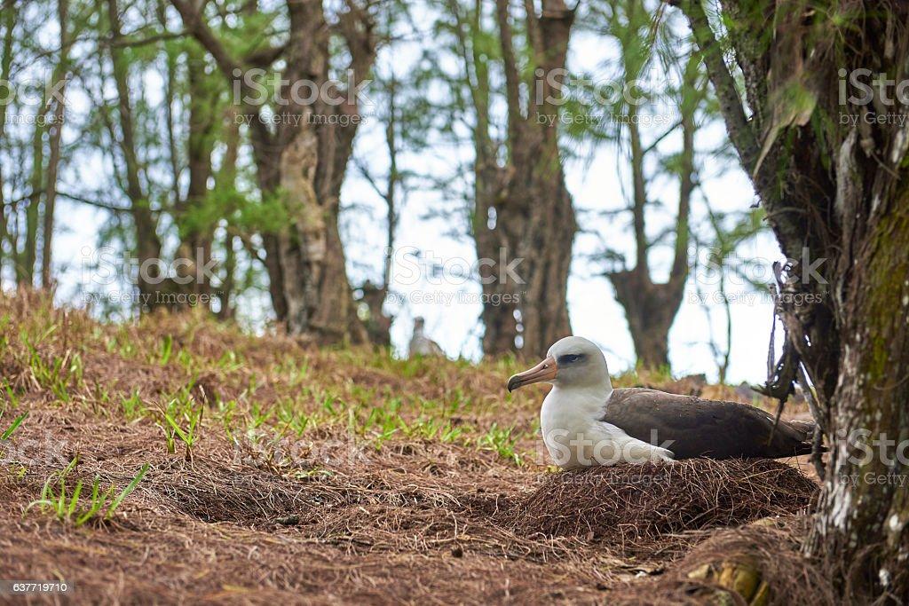 Albatross on nest stock photo