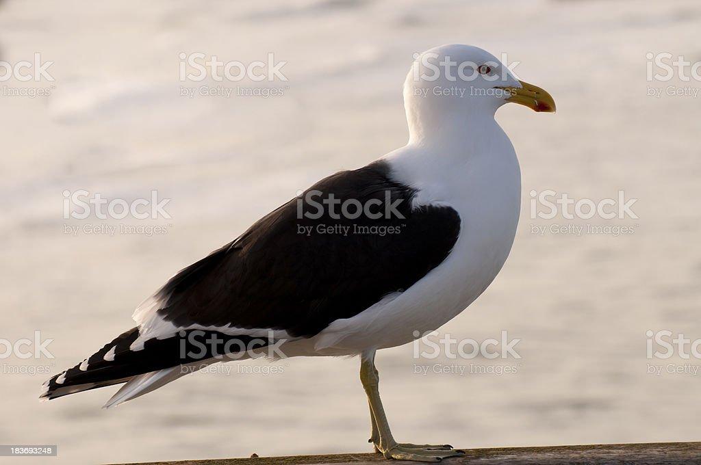 Albatros stock photo
