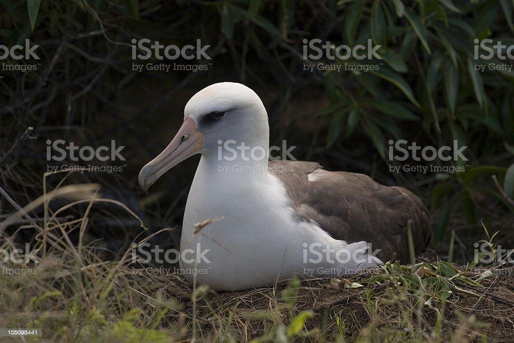 Albatross Profile stock photo