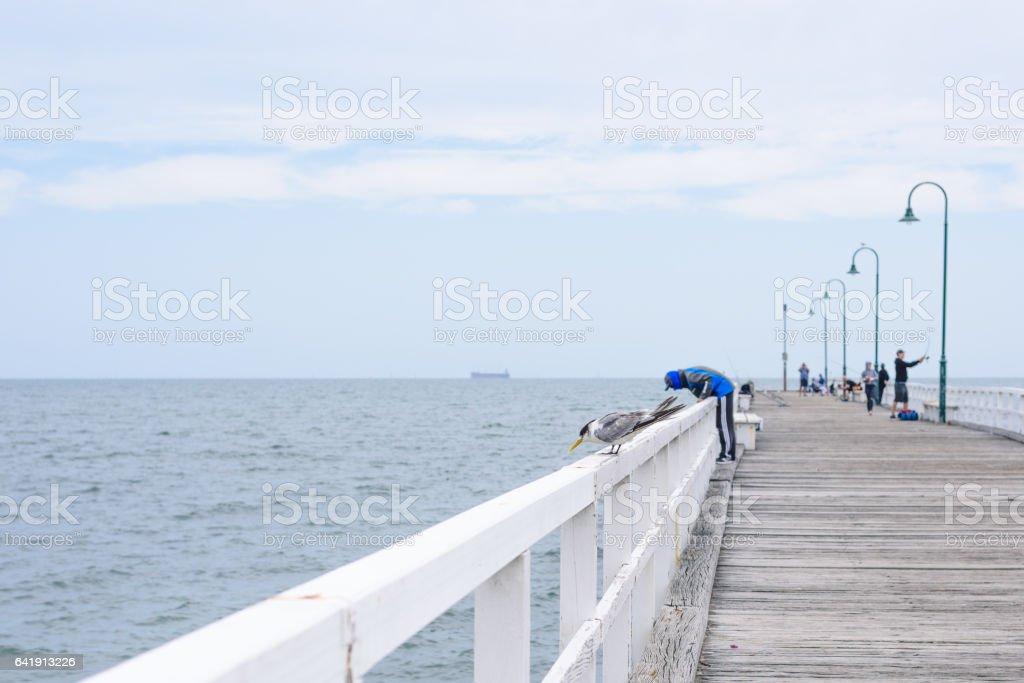 Albert Park Jetty Seagull and Fishing Man in Melbourne Australia stock photo