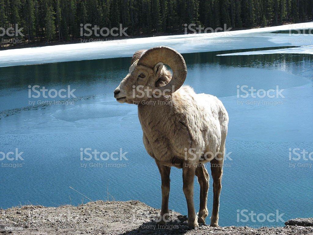 Alberta Bighorn royalty-free stock photo