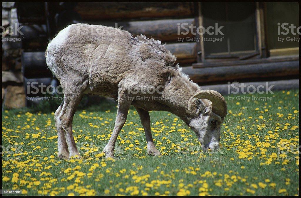 Alberta Bighorn Sheep royalty-free stock photo