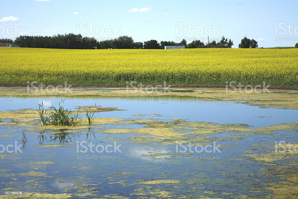 Alberta Canola and Pond royalty-free stock photo