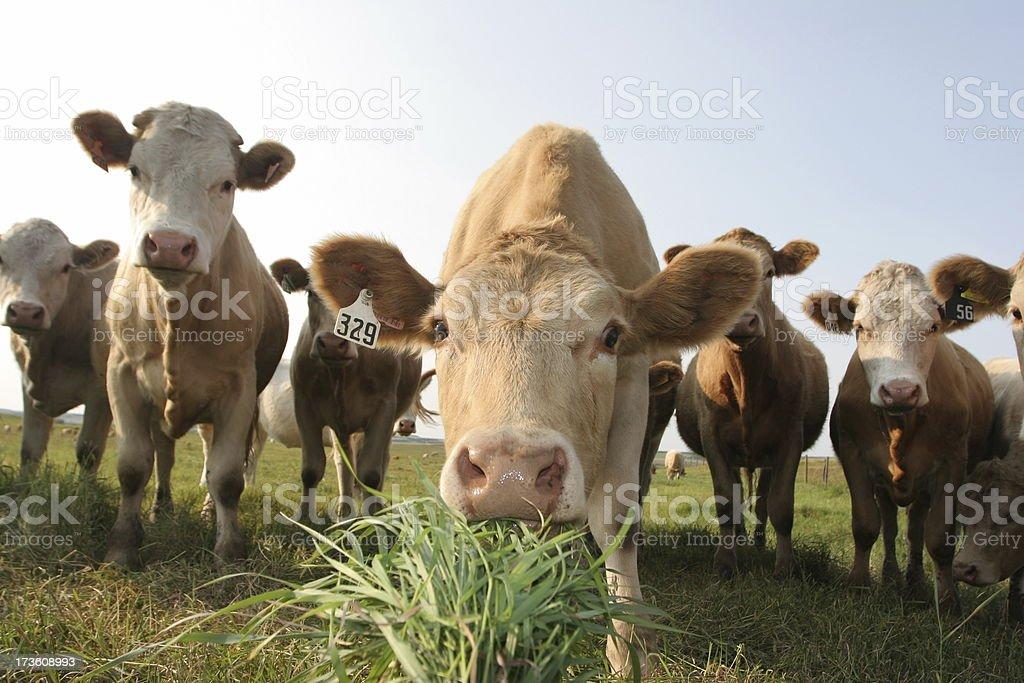 Alberta Cow royalty-free stock photo