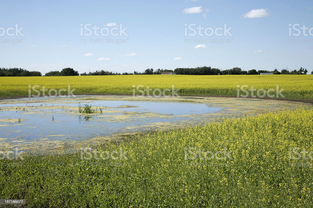 Alberta Prairie Landscape of Canola and Cattail Pond royalty-free stock photo