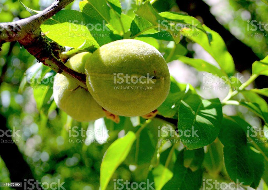 Albicocca, Apricot, Prunus armeniaca stock photo
