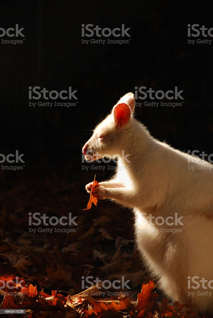 Albino Bennett's wallaby is eating from an oak leaf. stock photo