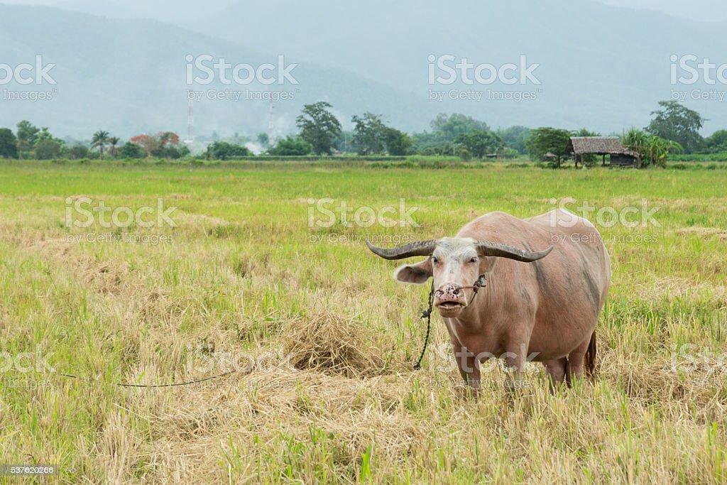 Albino buffalo beautiful stock photo