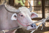 albino buffalo