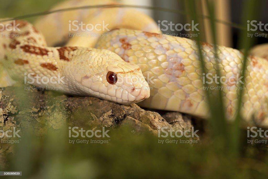 Albino bullsnake stock photo