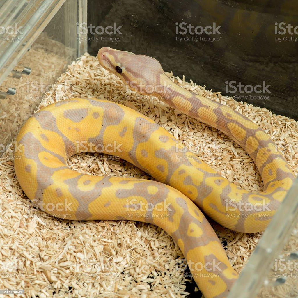 albino Burmese python stock photo