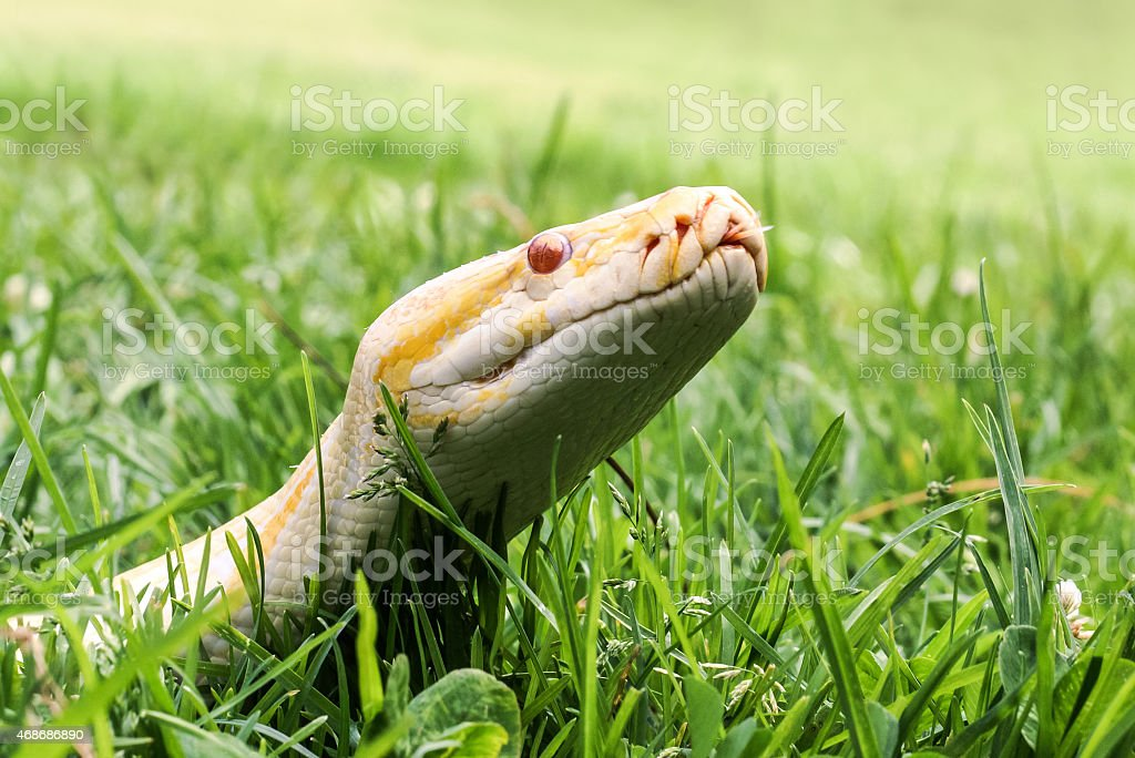 Albino Burmese python showing it's tongue in grass, close-up stock photo