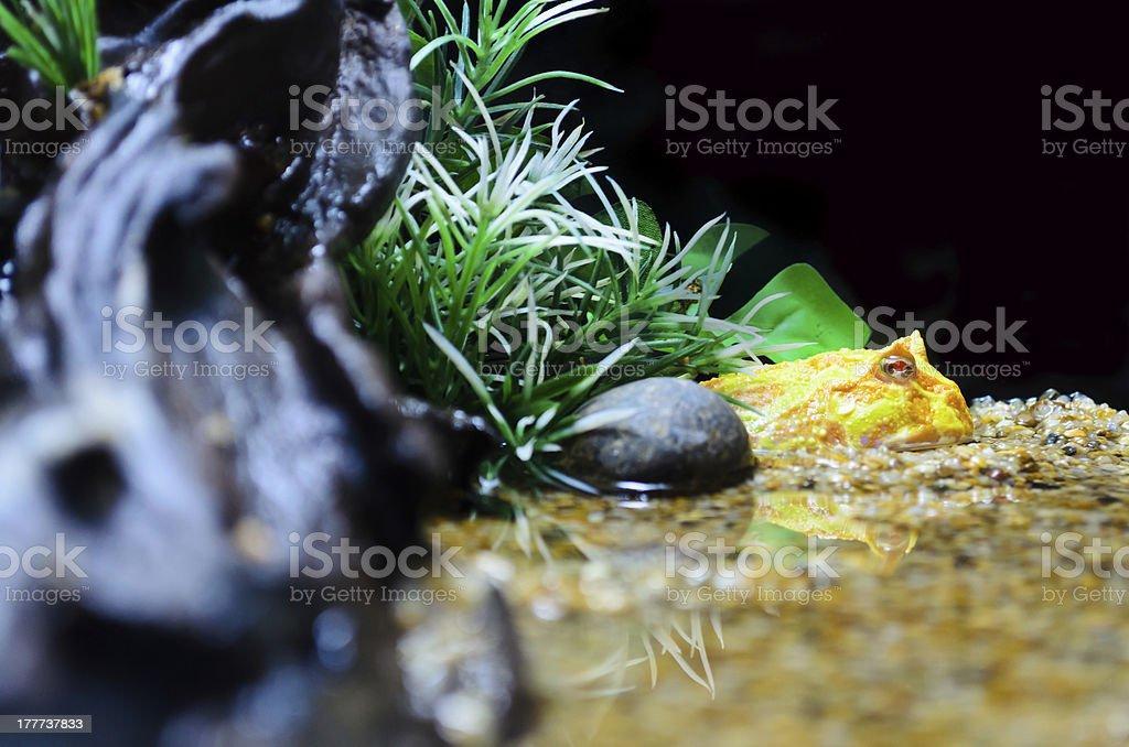 Albino Ceratophrys ornata (Pacman Frog) stock photo