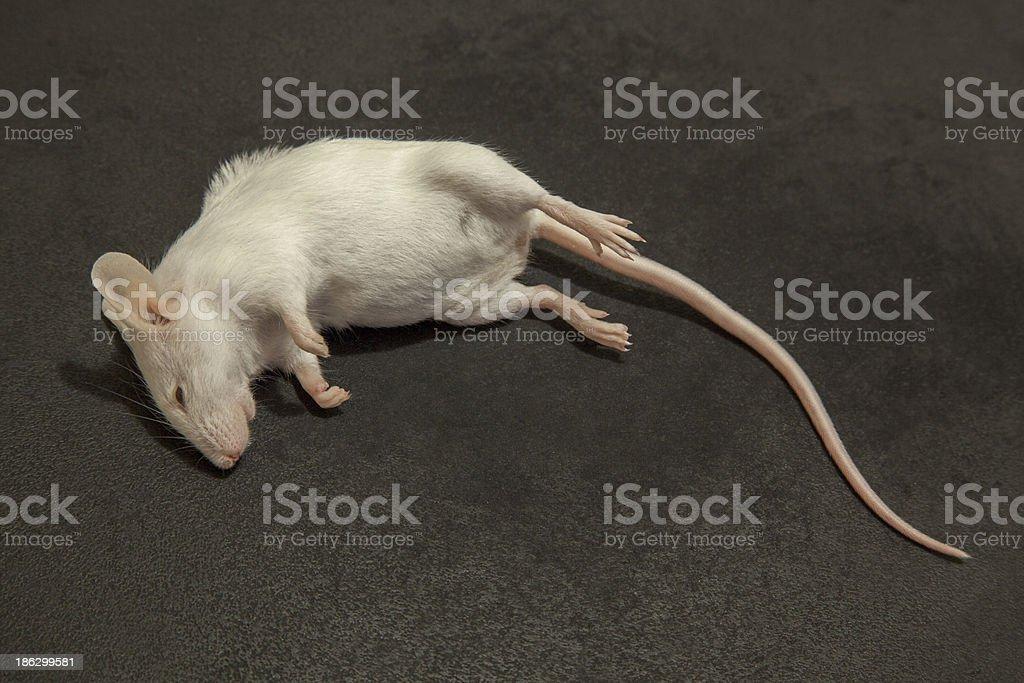 Albino Dead Mouse stock photo