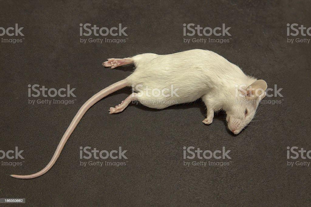 Albino Dead Mouse three stock photo