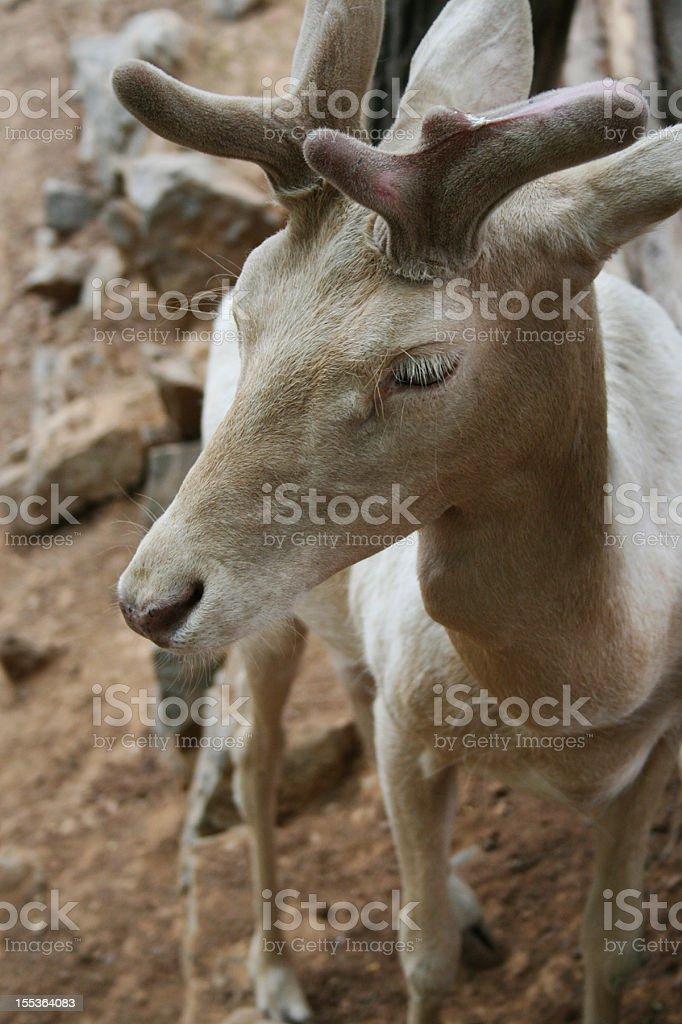 Albino Deer foto stock royalty-free