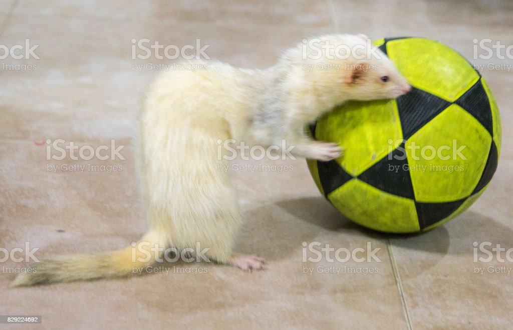 Albino ferret stock photo