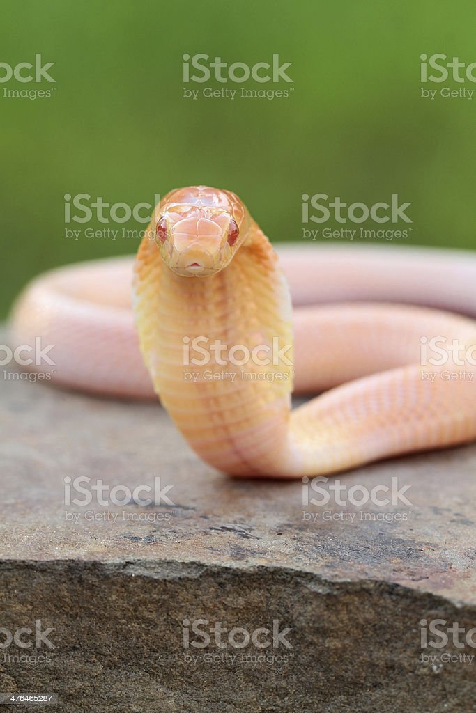 Albino Monocled Cobra stock photo